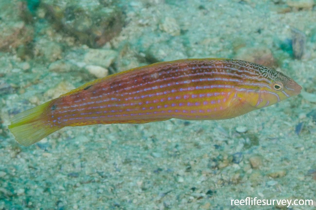 Suezichthys arquatus, Female, NSW, Australia,  Photo: Ian Shaw