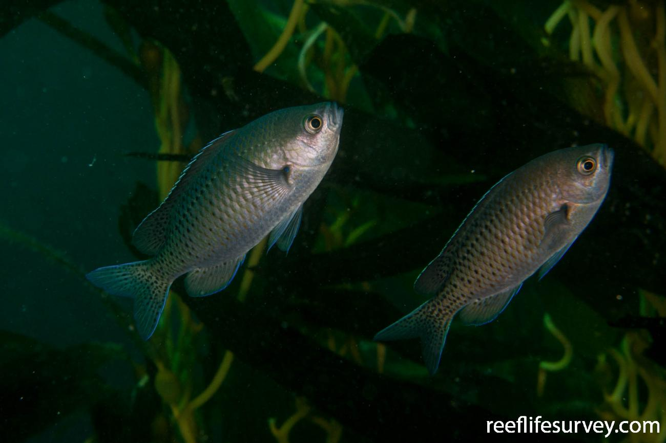 Chromis punctipinnis, San Diego, CA,  Photo: Rick Stuart-Smith