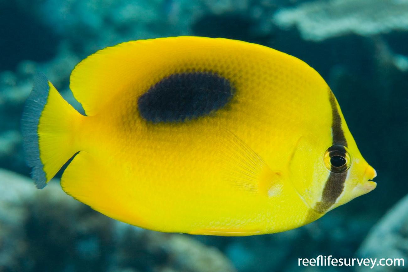 Chaetodon speculum, Adult, Raja Ampat, Indonesia,  Photo: Andrew Green
