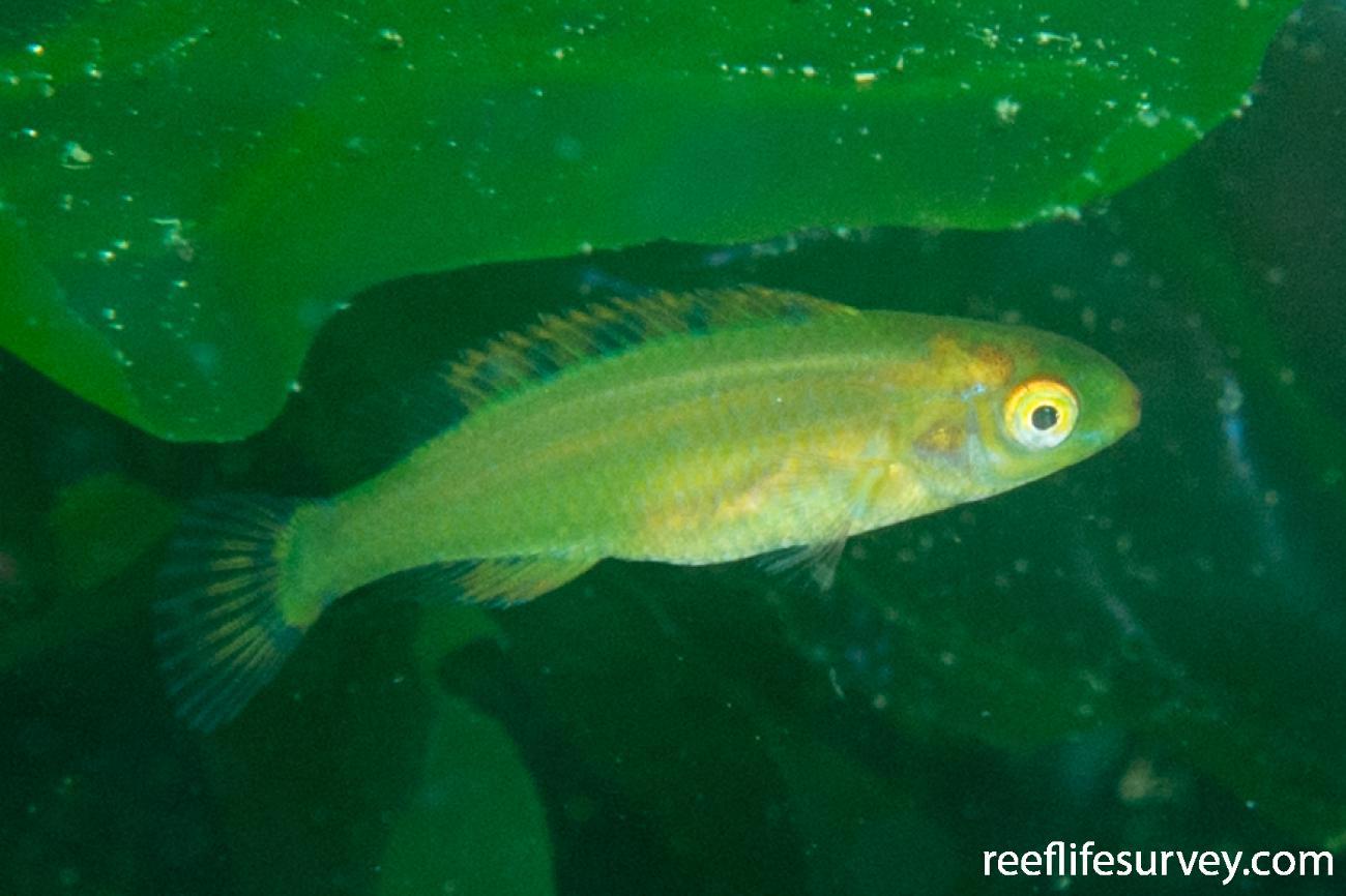 Centrolabrus exoletus, Vigo,  Photo: Rick Stuart-Smith