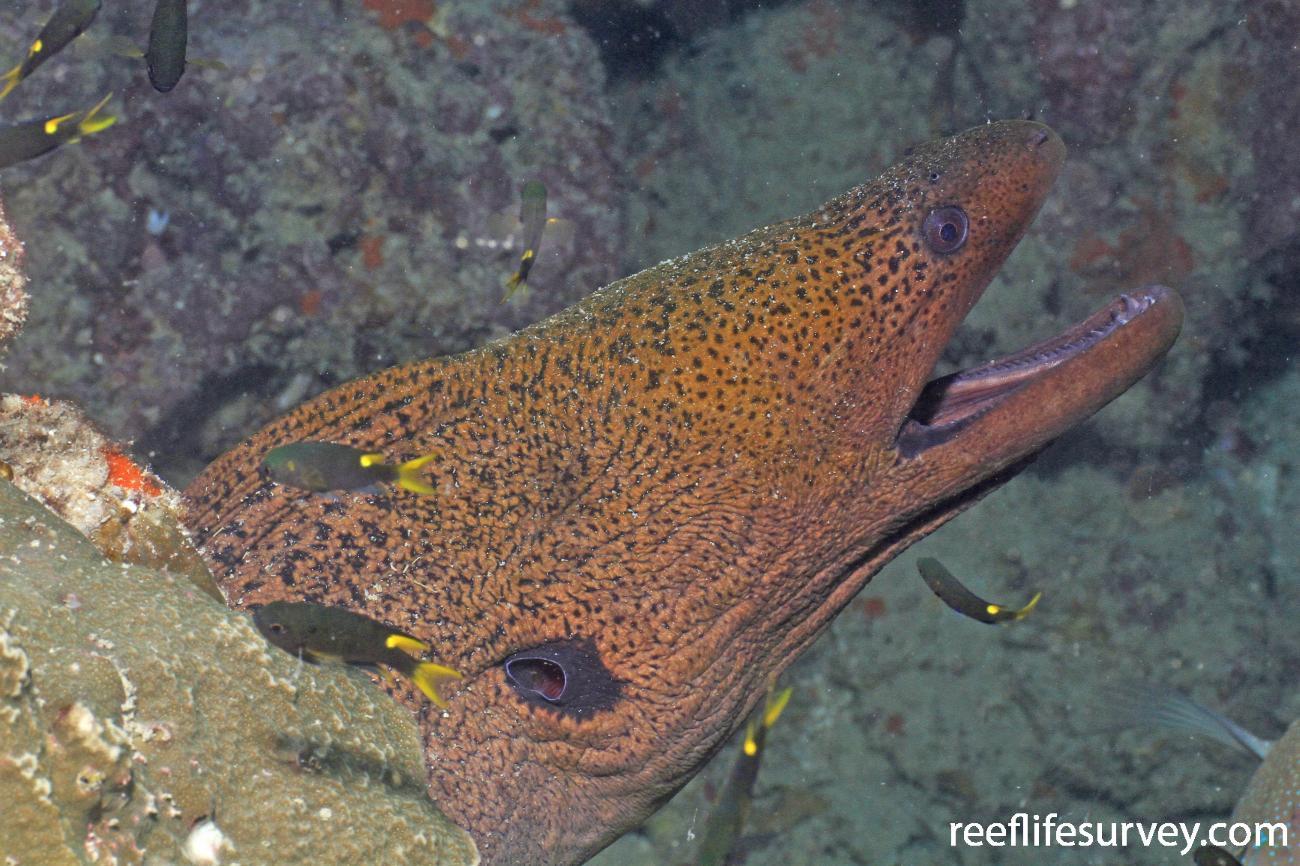 Gymnothorax javanicus, Great Barrier Reef, Australia,  Photo: Graham Edgar