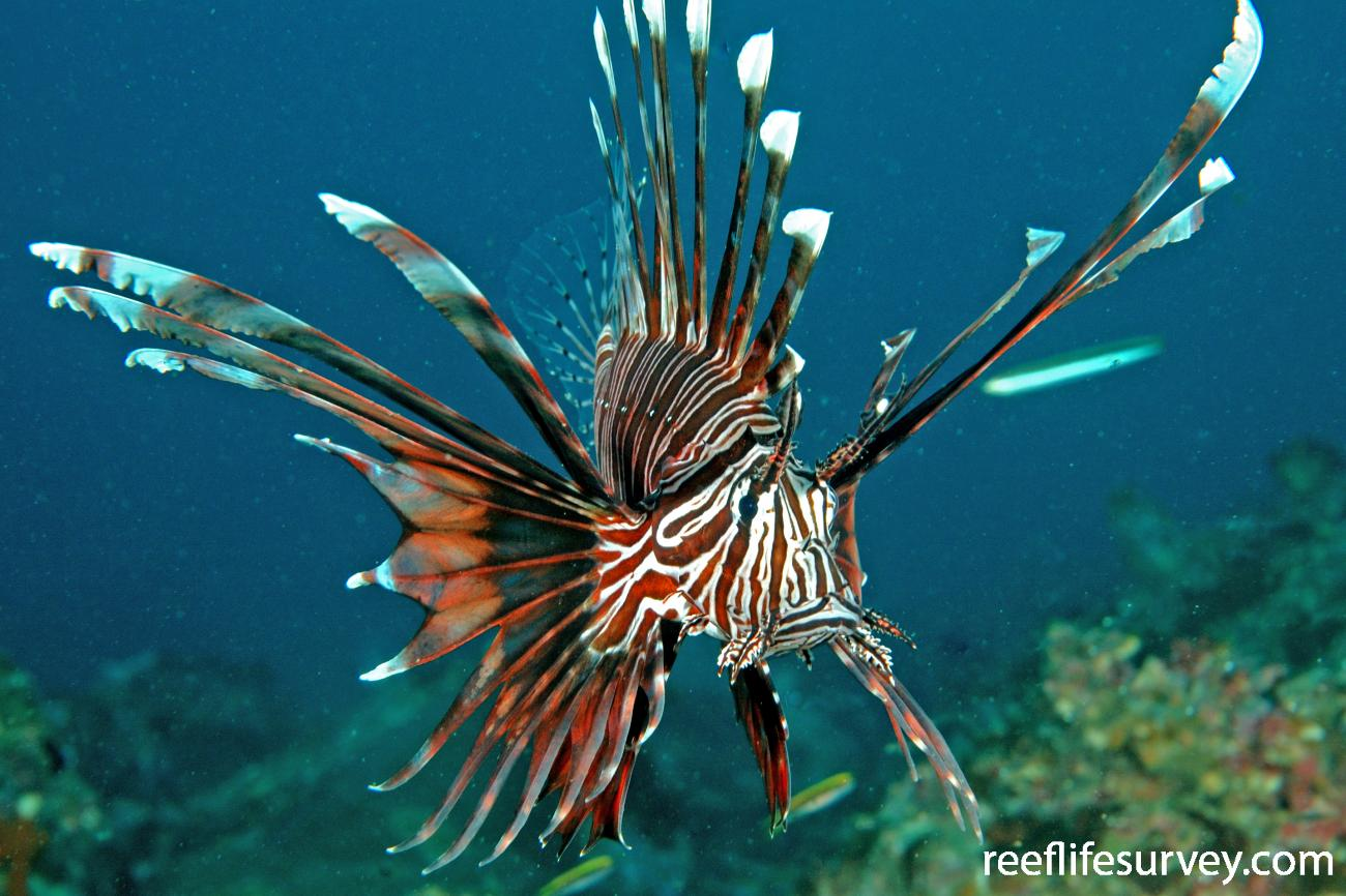 Pterois volitans, Adult, New South Wales, Australia,  Photo: Ian Shaw
