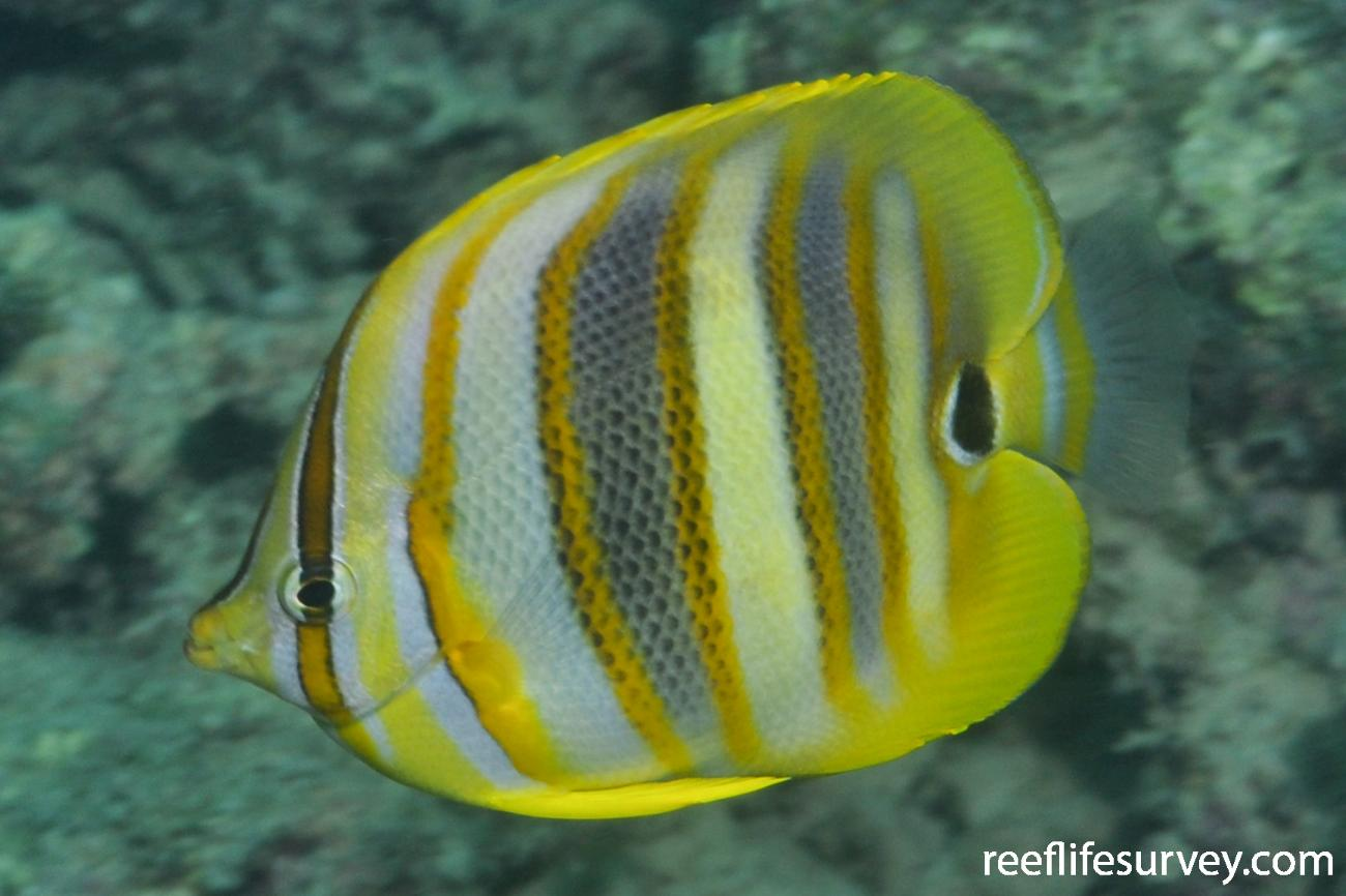 Chaetodon rainfordi, Adult.  Photo: Rick Stuart-Smith