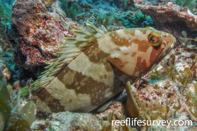 Epinephelus rivulatus: Adult.  Photo: Rick Stuart-Smith