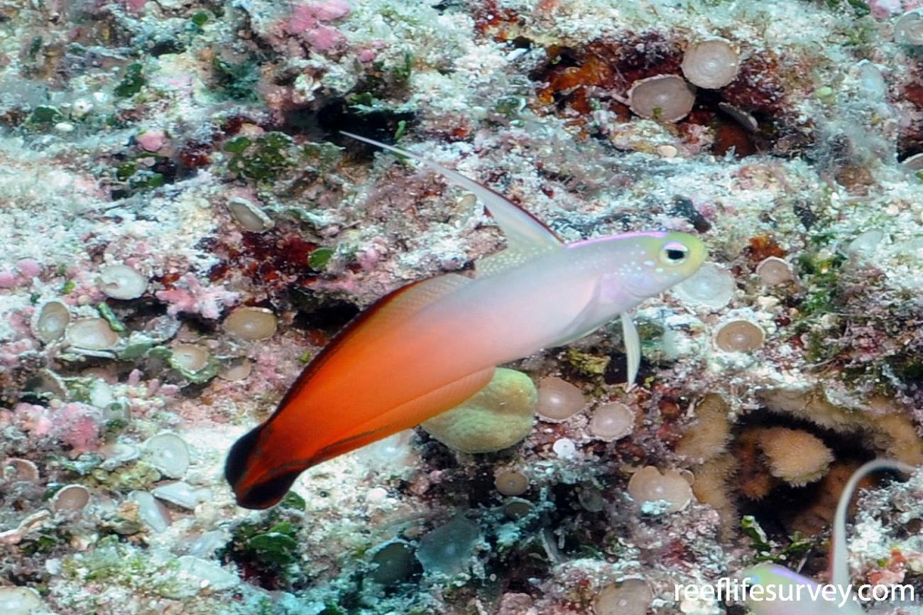 Nemateleotris magnifica, Marion Reef, Coral Sea,  Photo: Antonia Cooper