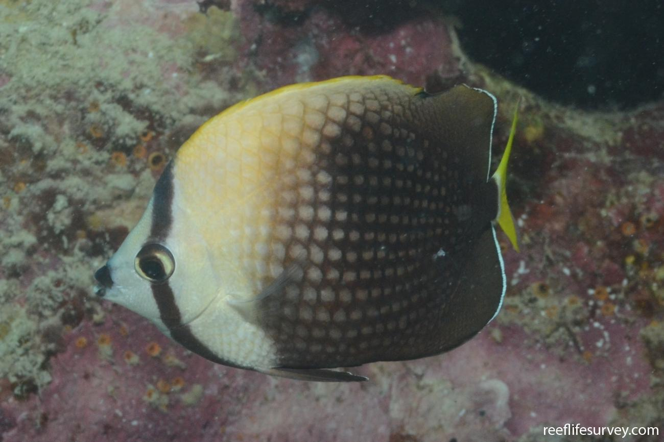 Chaetodon trichrous, Moorea, French Polynesia,  Photo: Graham Edgar