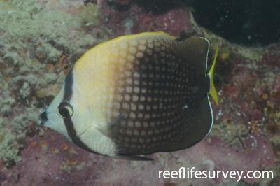 Chaetodon trichrous: Moorea, French Polynesia,  Photo: Graham Edgar