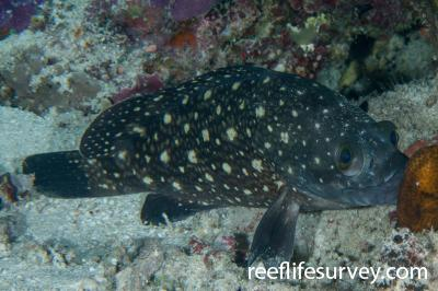 Epinephelus coeruleopunctatus:  Photo: Rick Stuart-Smith
