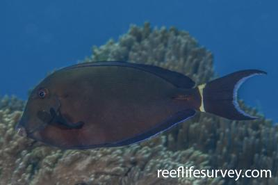 Acanthurus auranticavus: Raja Ampat, Indonesia,  Photo: Rick Stuart-Smith