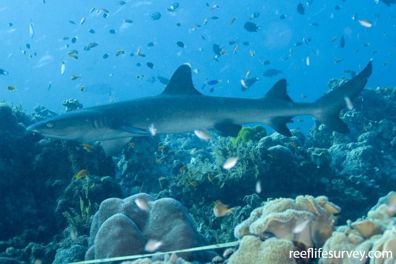 Triaenodon obesus, Coral Sea, QLD,  Photo: Andrew Green