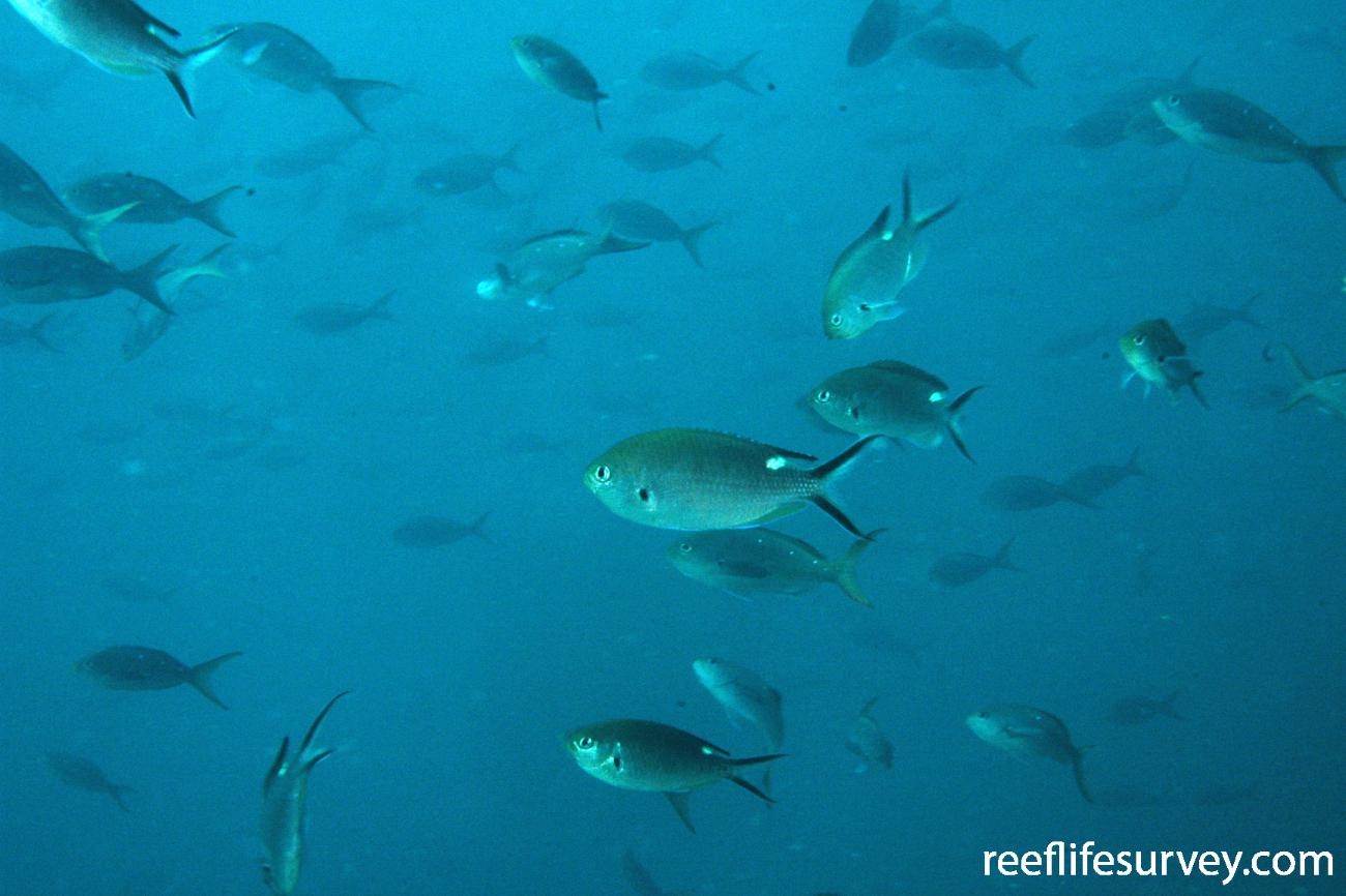 Chromis atrilobata, Galapagos Islands, Ecuador,  Photo: Graham Edgar