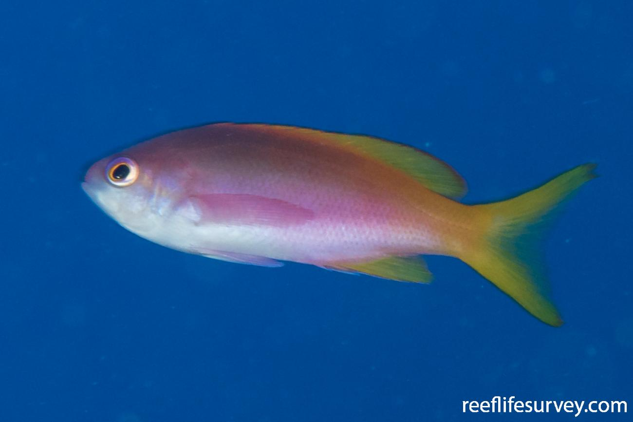 Pseudanthias pictilis, Juvenile, Lord Howe Is, NSW,  Photo: Rick Stuart-Smith