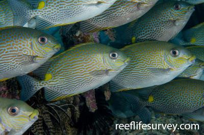 Siganus lineatus: Raja Ampat, Indonesia,  Photo: Andrew Green
