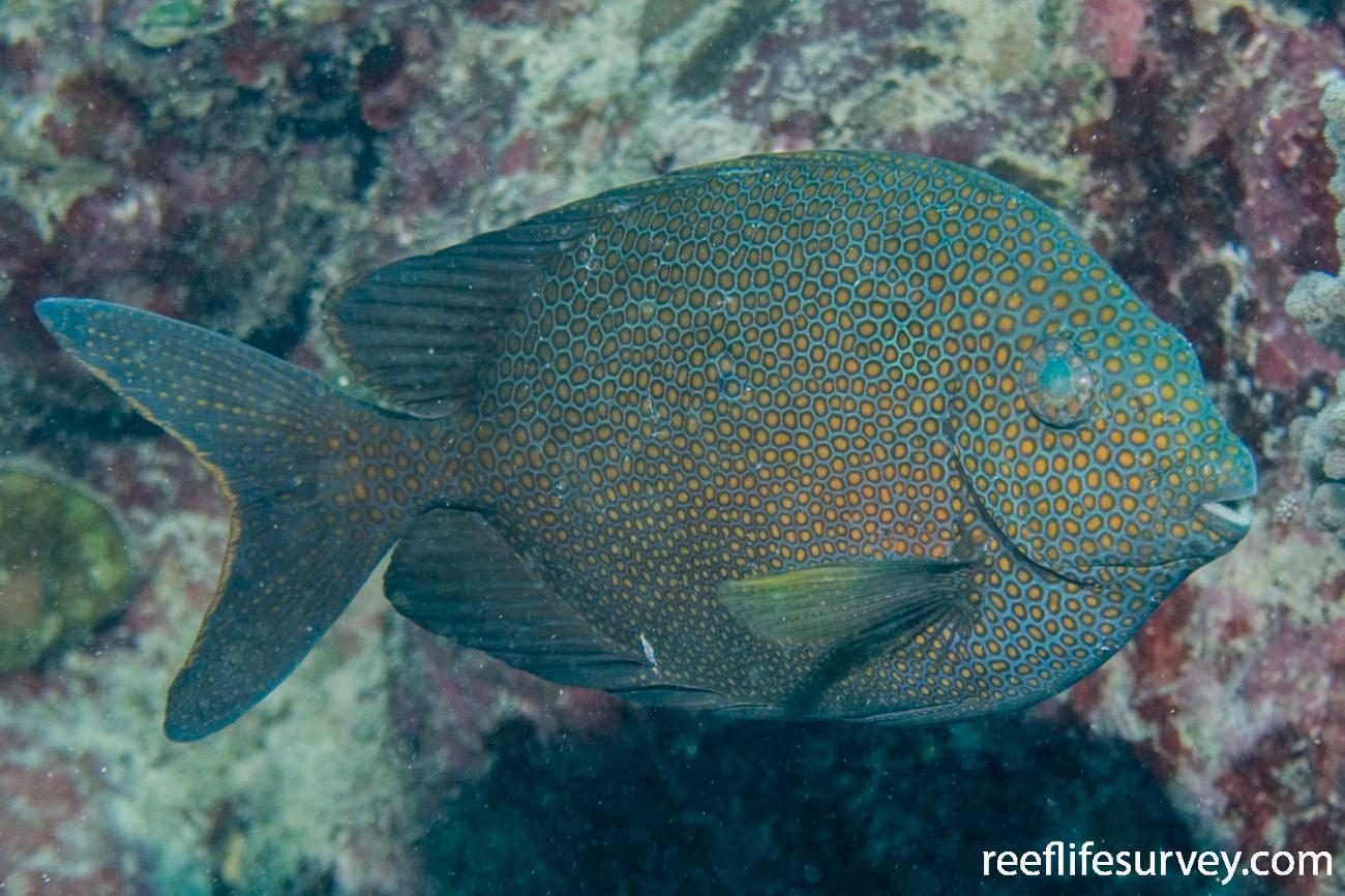 Siganus punctatus, Great Barrier Reef, Cairns, QLD,  Photo: Andrew Green