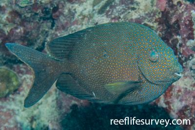 Siganus punctatus: Great Barrier Reef, Cairns, QLD,  Photo: Andrew Green