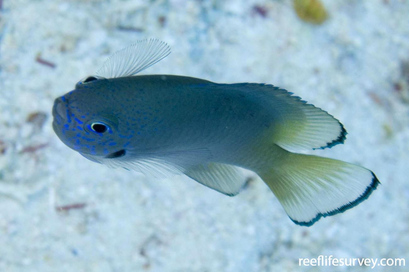 Pomacentrus nigromarginatus, Raja Ampat, Indonesia,  Photo: Andrew Green