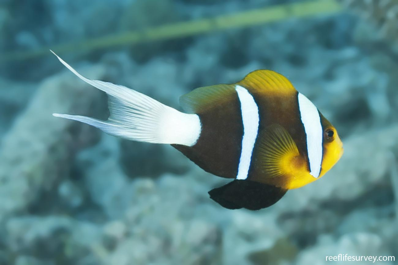 Amphiprion chrysopterus, Long tail variation, Coral Sea, Australia,  Photo: Ian Shaw