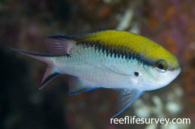 Chromis nitida: Narooma, NSW,  Photo: Andrew Green