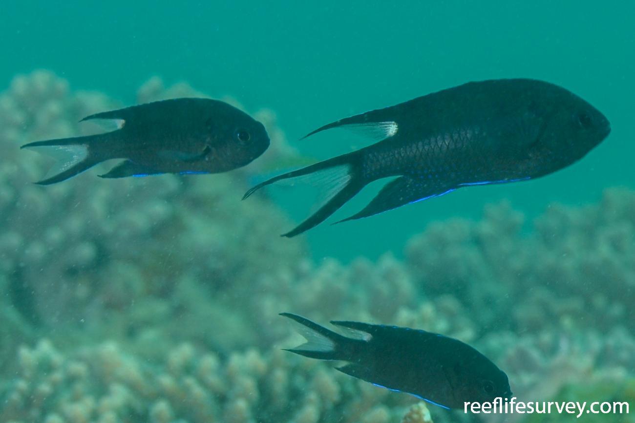 Neopomacentrus cyanomos, Adult.  Photo: Rick Stuart-Smith