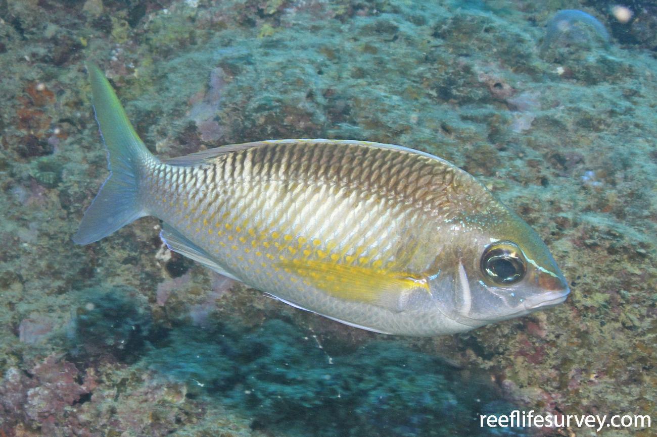 Scolopsis margaritifer, Great Barrier Reef, Australia,  Photo: Graham Edgar