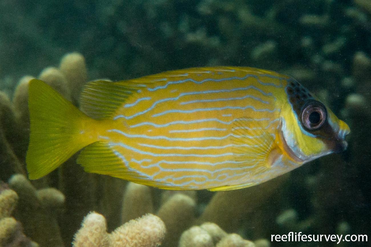 Siganus puellus, Juvenile, Raja Ampat, Indonesia,  Photo: Rick Stuart-Smith
