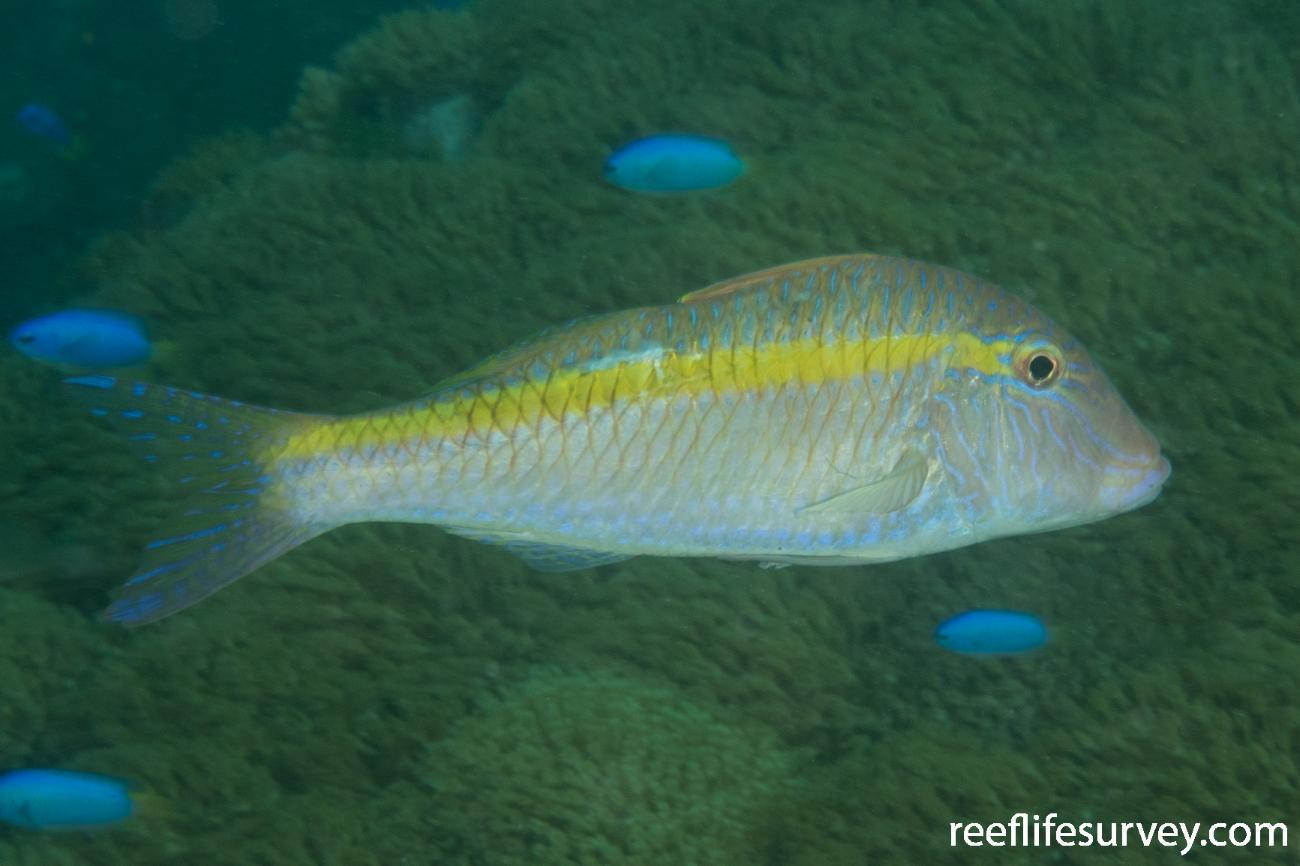 Parupeneus chrysopleuron, Ningaloo Reef, WA,  Photo: Rick Stuart-Smith
