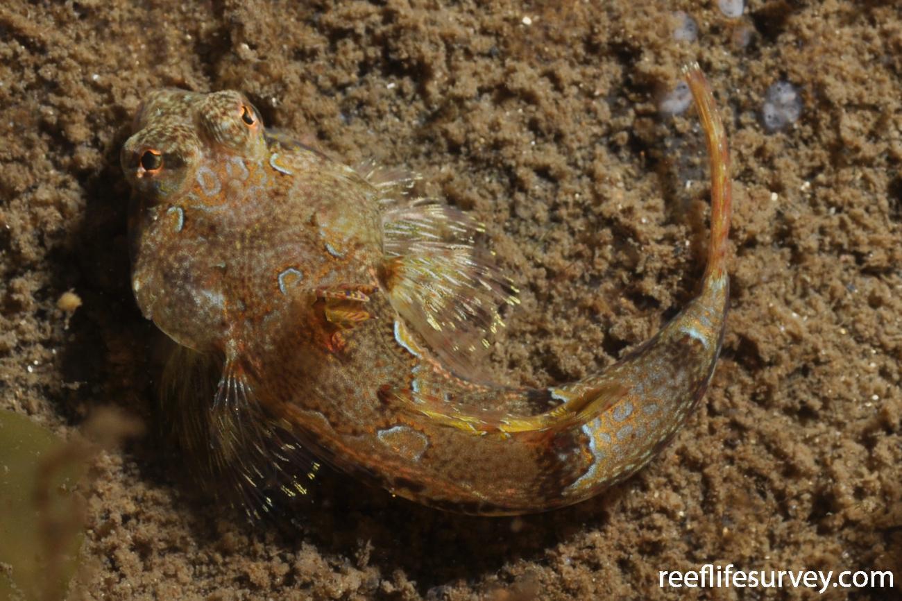 Eocallionymus papilio, Adult.  Photo: Rick Stuart-Smith