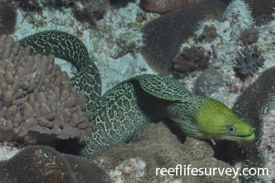 Gymnothorax undulatus: Elizabeth Reef, Tasman Sea, Australia,  Photo: Graham Edgar