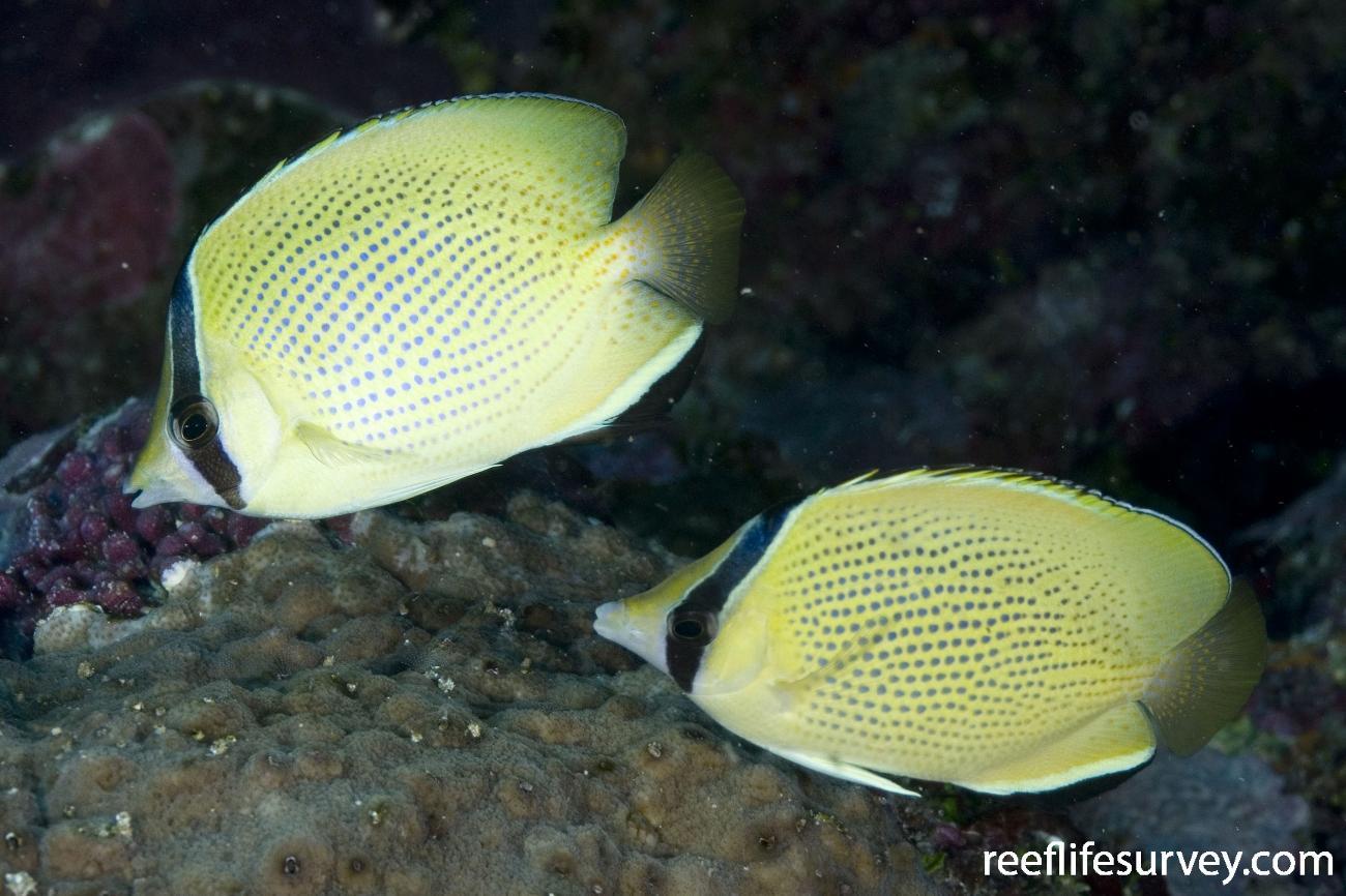 Chaetodon citrinellus, Coral Sea, Australia,  Photo: Andrew Green