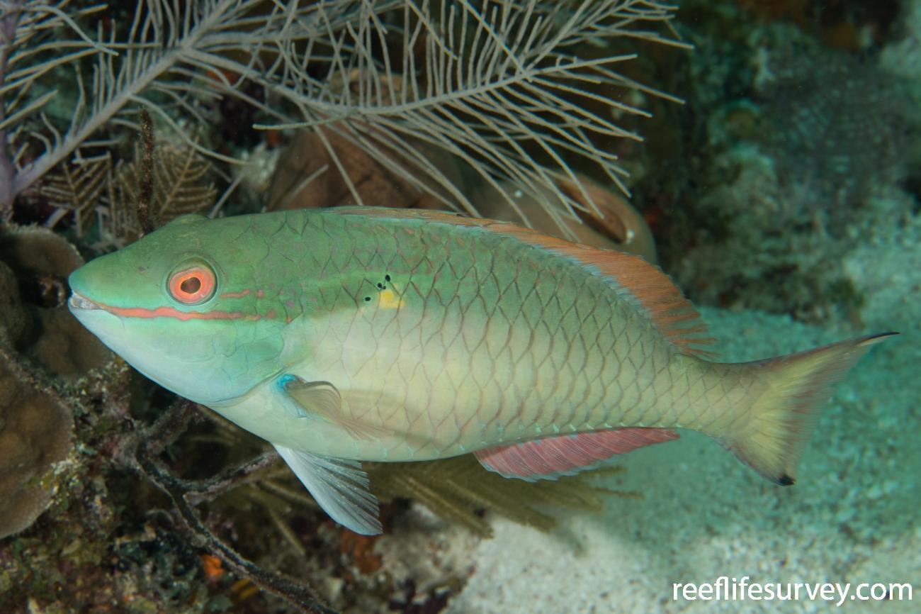 Sparisoma aurofrenatum, Male, Belize,  Photo: Rick Stuart-Smith