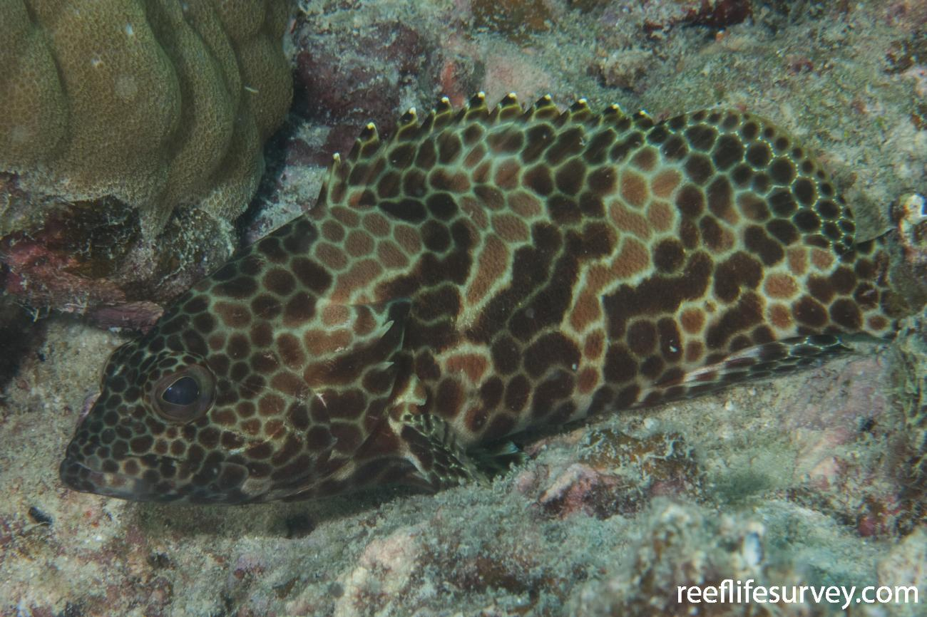 Epinephelus merra, QLD, Australia,  Photo: Rick Stuart-Smith