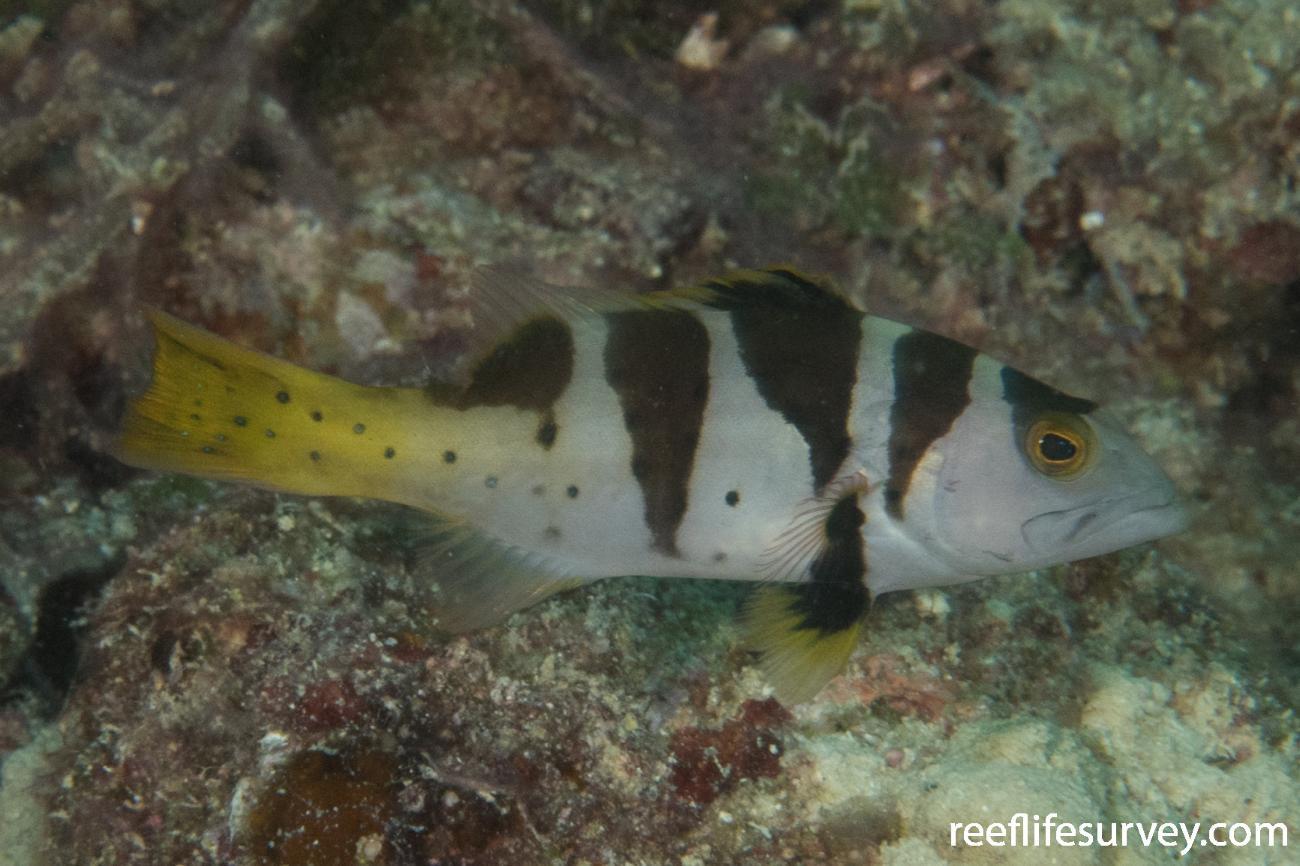 Plectropomus laevis, Juvenile, QLD, Australia,  Photo: Rick Stuart-Smith