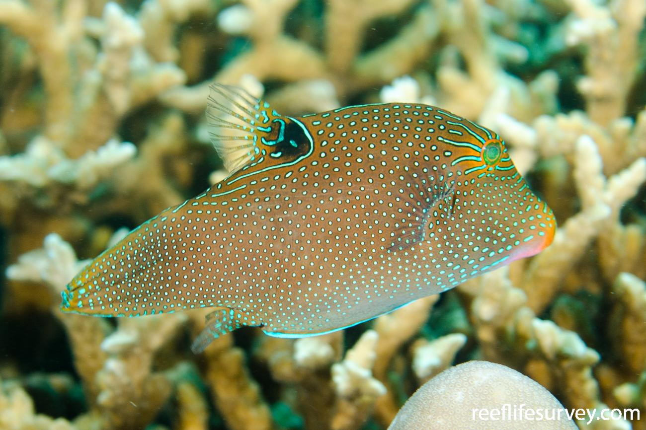Canthigaster papua, Adult, Bali, Indonesia,  Photo: Ian Shaw