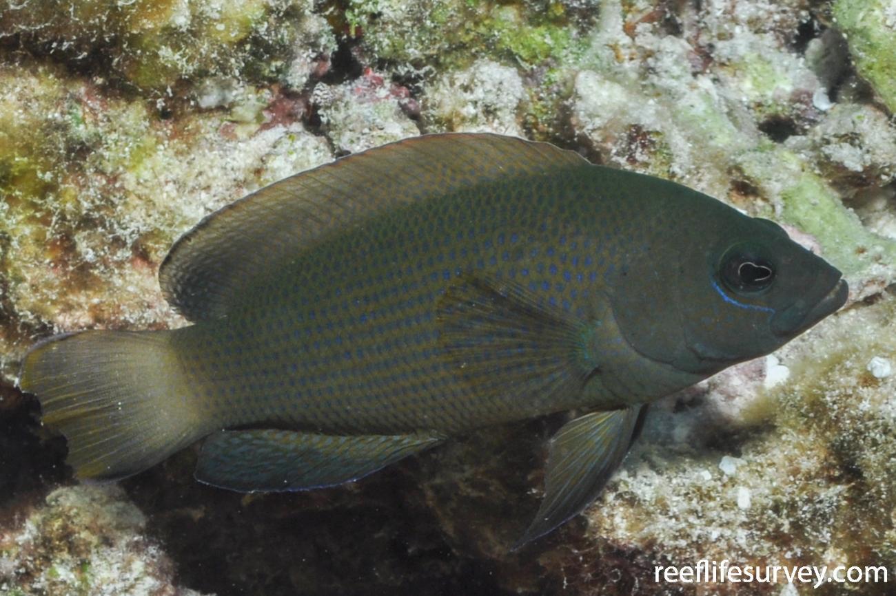Pseudochromis fuscus, Great Barrier Reef, Townsville, Australia,  Photo: Rick Stuart-Smith