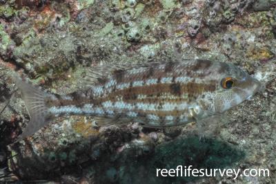Lethrinus genivittatus: QLD, Australia,  Photo: Rick Stuart-Smith
