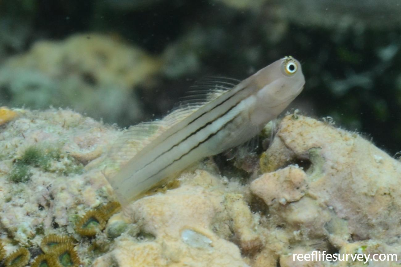 Ecsenius aequalis, QLD, Australia,  Photo: Joe Shields