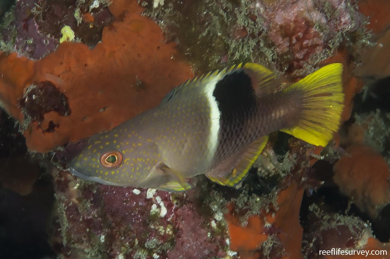 Bodianus perditio, Juvenile, Lord Howe Is, Australia,  Photo: Ian Shaw