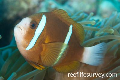 Amphiprion akindynos: Adult, NSW, Australia,  Photo: Ian Shaw