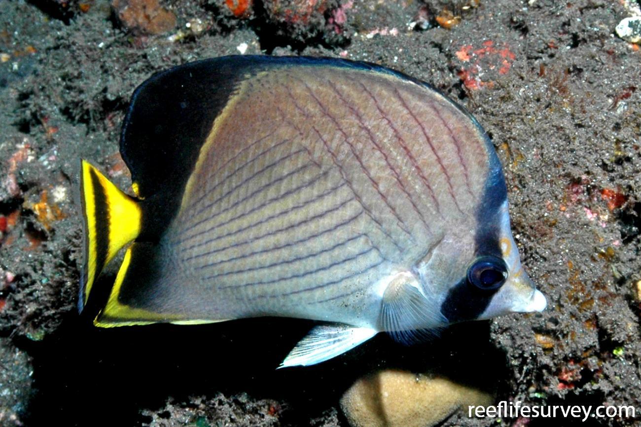 Chaetodon decussatus, Adult, Tulamben, Bali,
