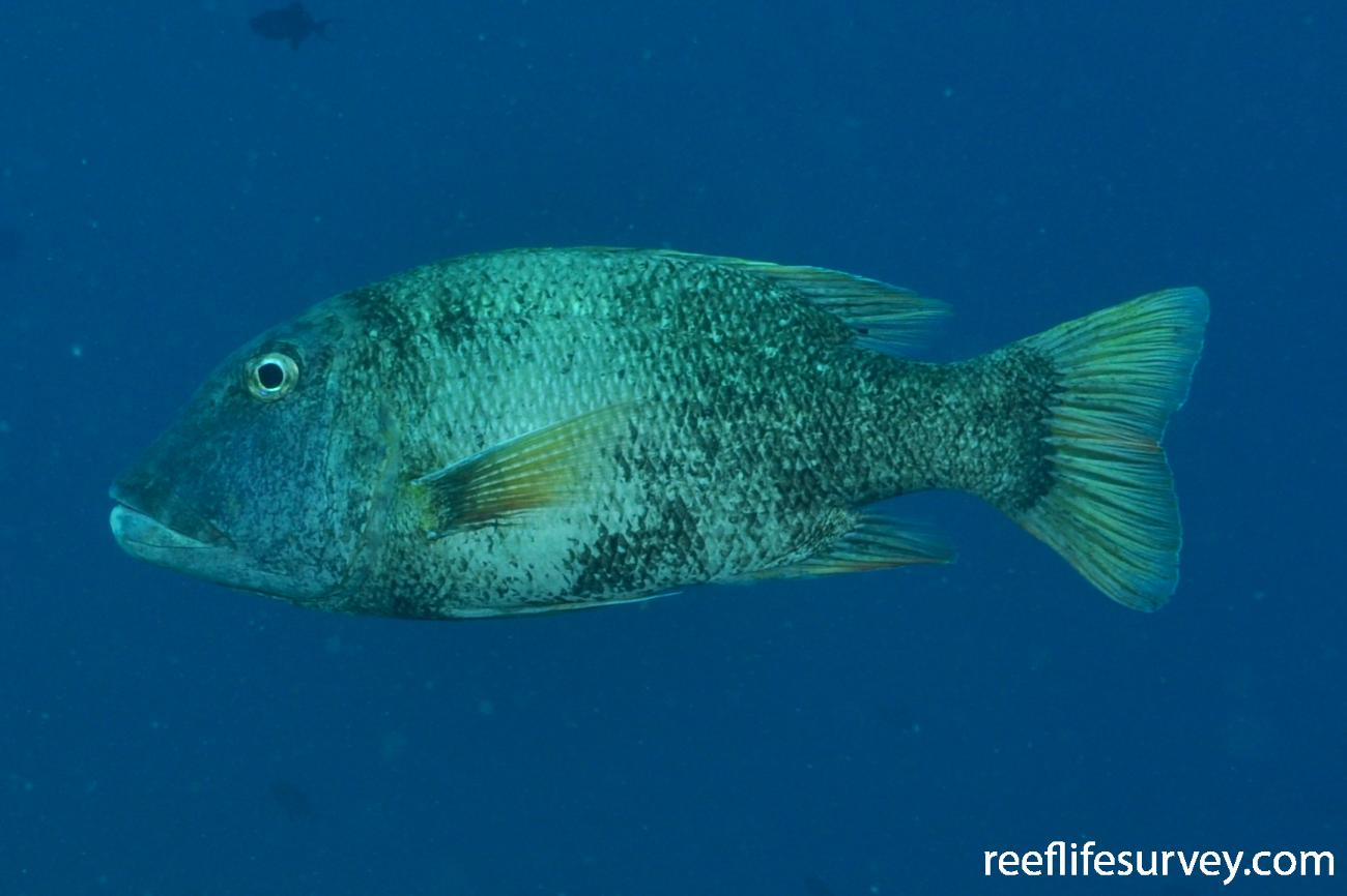 Lethrinus erythracanthus, Maldives,  Photo: Rick Stuart-Smith