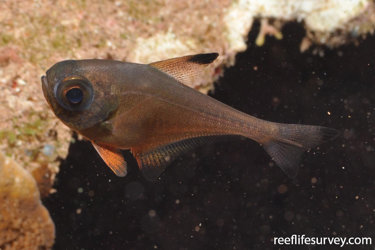 Pempheris analis, Norfolk Island, Australia,