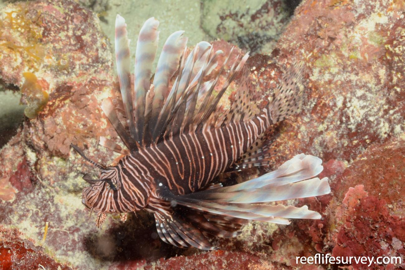 Pterois volitans, Adult, Carribbean,
