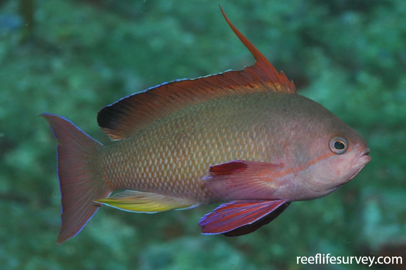 Pseudanthias squamipinnis, Male.  Photo: Rick Stuart-Smith