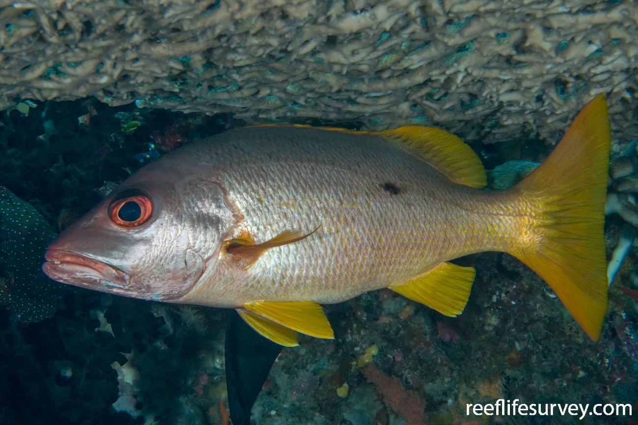 Lutjanus monostigma, Raja Ampat, Indonesia,  Photo: Andrew Green