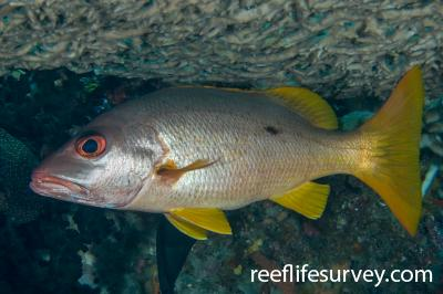 Lutjanus monostigma: Raja Ampat, Indonesia,  Photo: Andrew Green