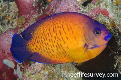 Centropyge bispinosa: Naigani Is, Fiji,  Photo: Andrew Green