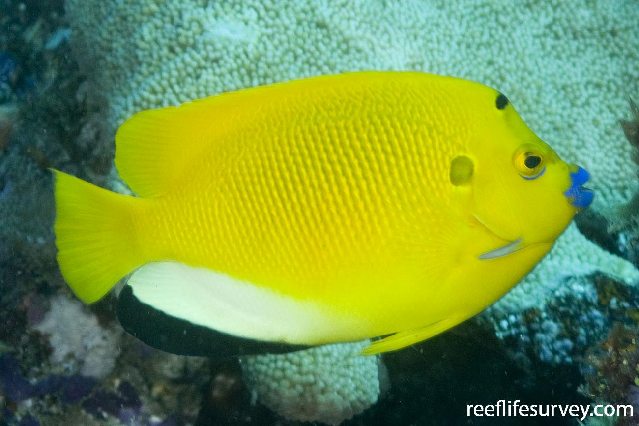 Apolemichthys trimaculatus, Adult, Torres Strait, Qld,  Photo: Andrew Green