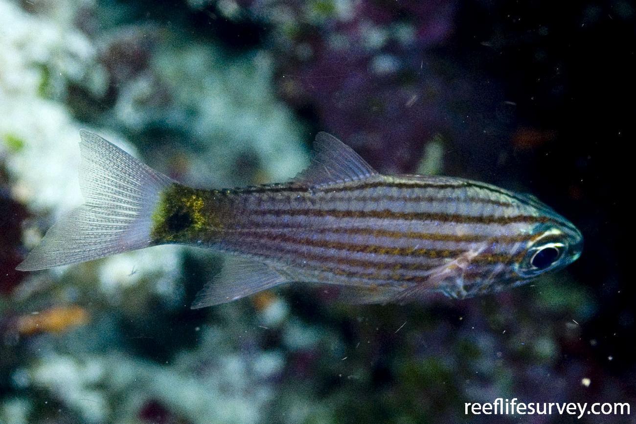 Cheilodipterus artus, Intermediate, Coral Sea, Qld,  Photo: Andrew Green