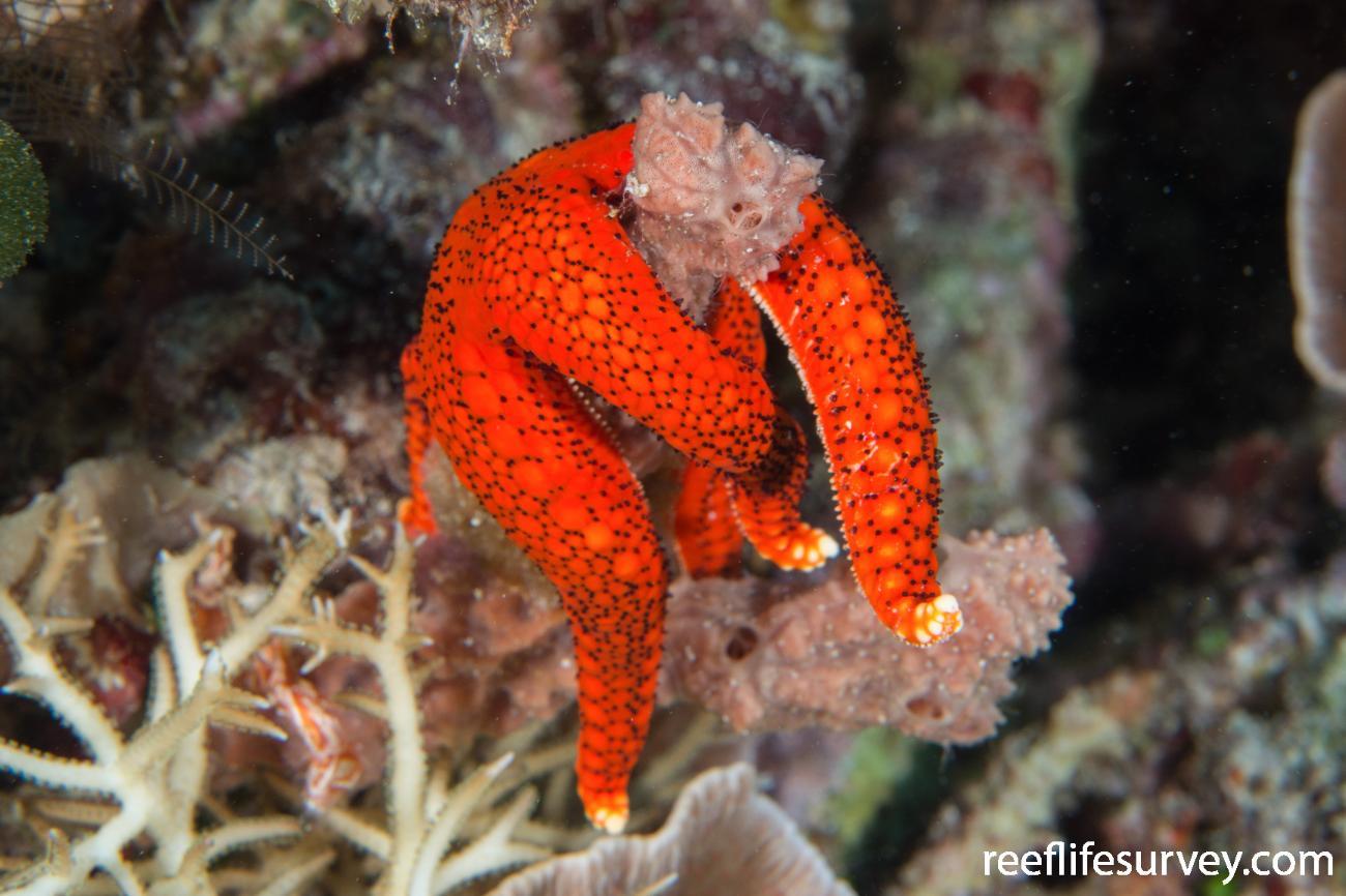 Fromia hemiopla, Raja Ampat, Indonesia,  Photo: Rick Stuart-Smith