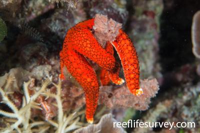 Fromia hemiopla: Raja Ampat, Indonesia,  Photo: Rick Stuart-Smith